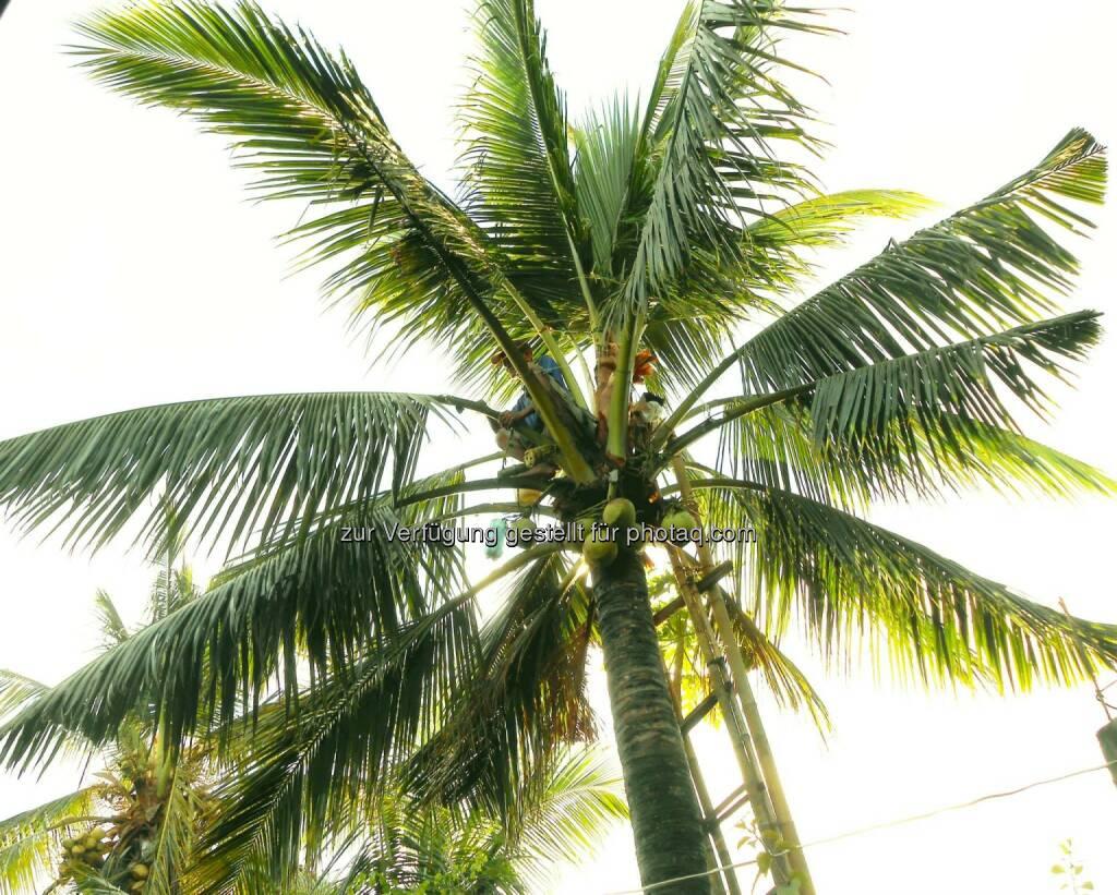 Coconut Tree (2014), © Dietmar Scherf (17.02.2014)