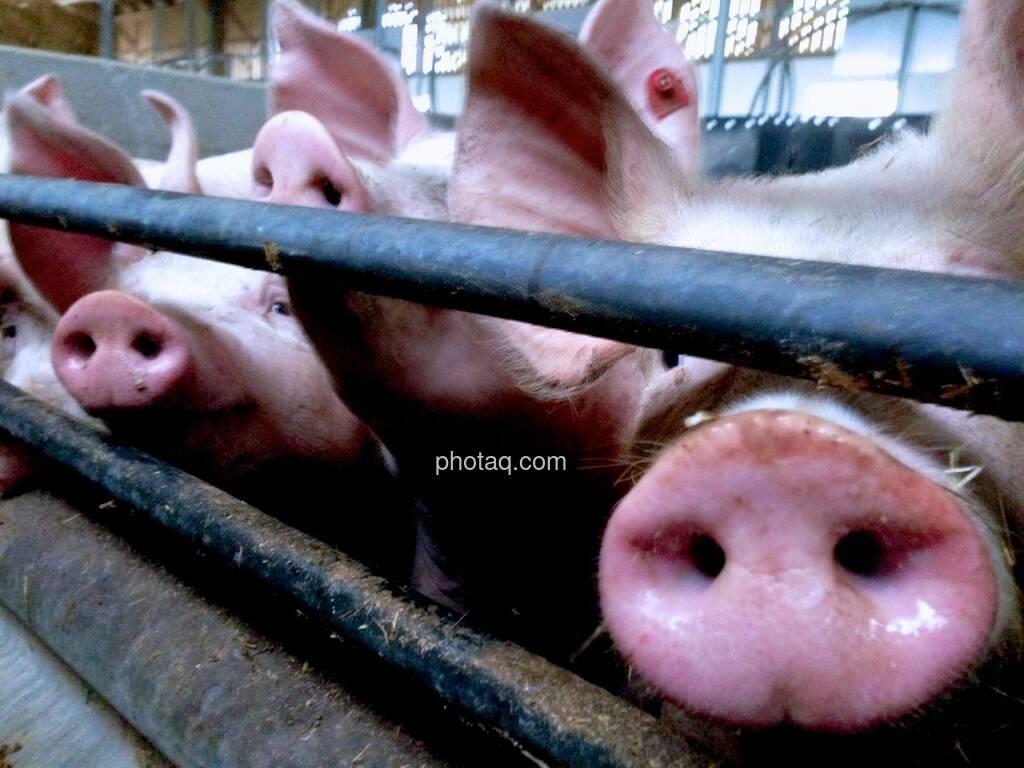 Schweine, Stall, Rüssel (03.05.2014)