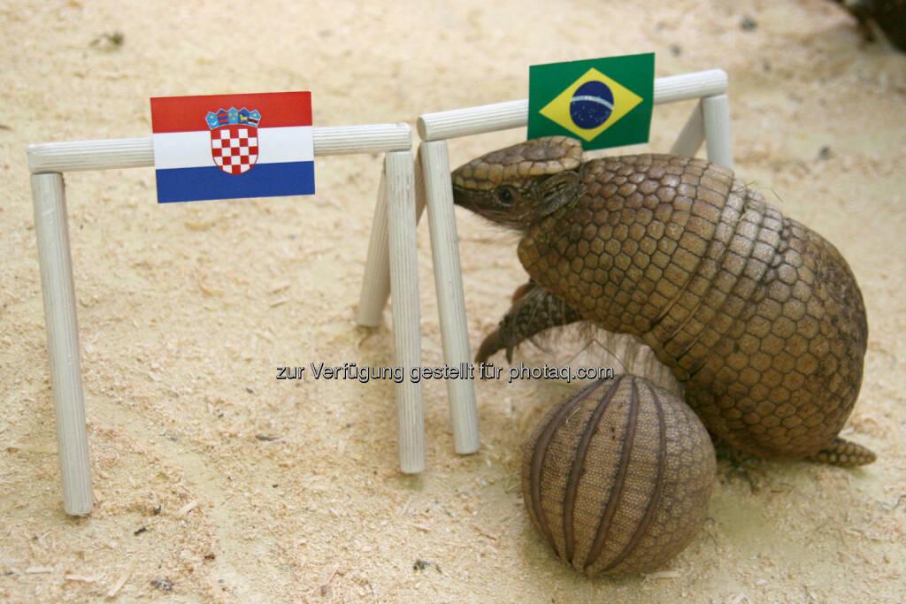 Tierwelt Herberstein: Kugelgürteltier sagt Sieg für Brasilien voraus (Bild:  Michaela Frewein) (11.06.2014)
