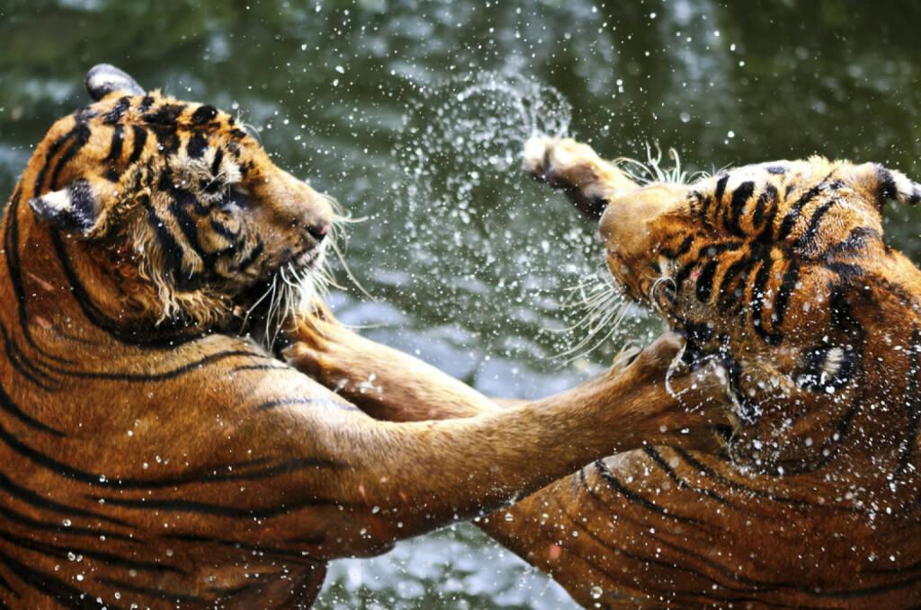 Tiger, Wettkampf, Zweikampf, Streit, Macht, Kraft, messen, http://www.shutterstock.com/de/pic-153535766/stock-photo-fighting-tigers.html , © www.shutterstock.com (08.07.2014)