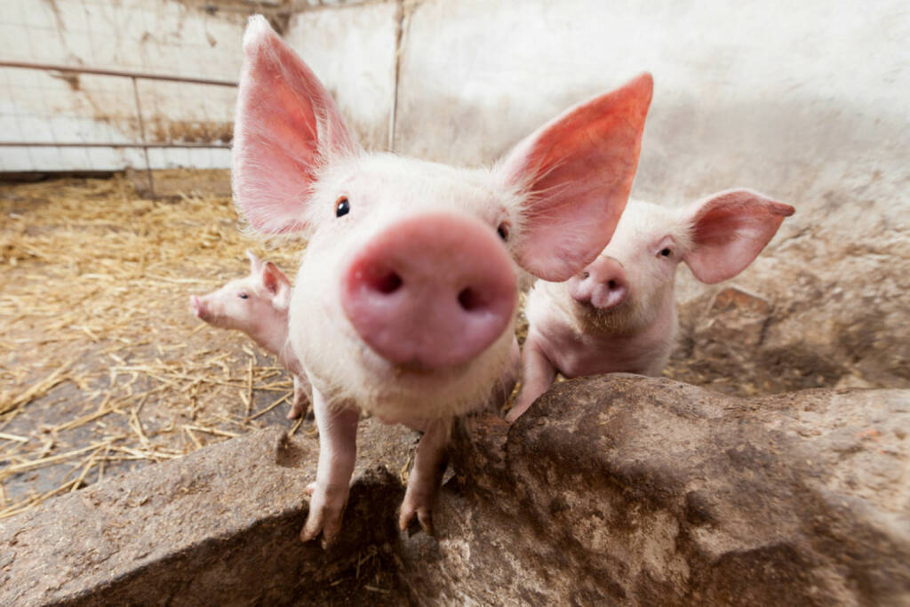 Schwein, Ferkel, Sau, Sauerei, Tier, Fleisch, http://www.shutterstock.com/de/pic-134362790/stock-photo-young-pigs-on-the-farm.html , © www.shutterstock.com (14.07.2014)