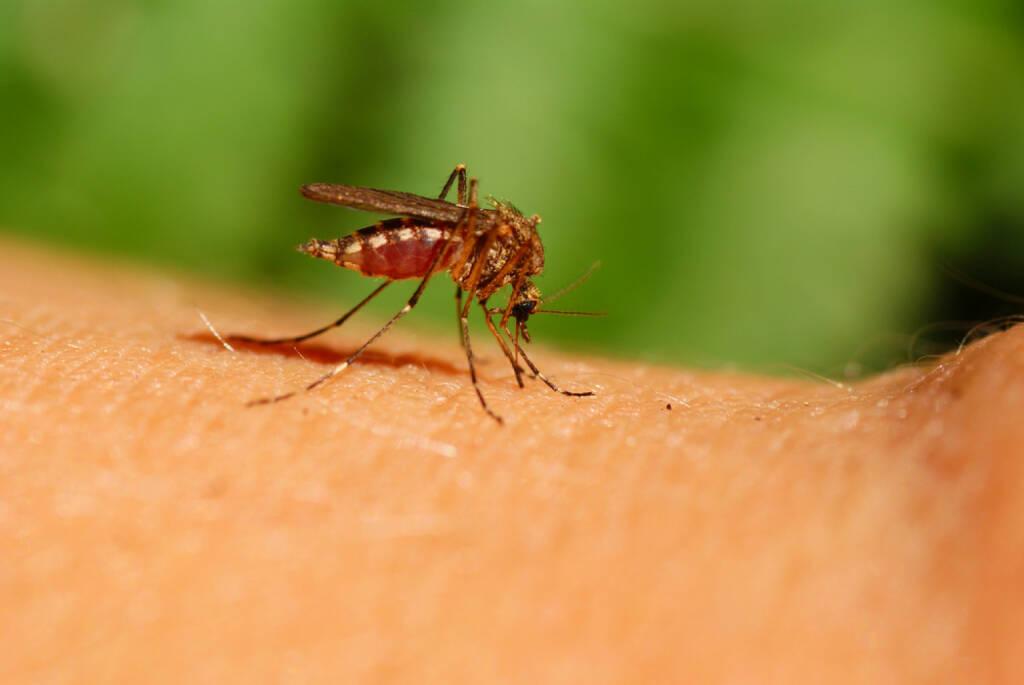 Mücke, Gelse, Blut, Blutsauger, Mosquito, http://www.shutterstock.com/de/pic-34944307/stock-photo-mosquito-drinks-human-blood-on-green-background.html , © (www.shutterstock.com) (31.07.2014)