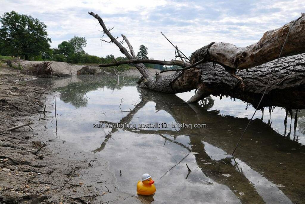 Nicht Hochwasser oder Schlamperei haben diesen Stamm ins Wasser gelegt. Er ist ein so genannter Rauh-Baum, den Experten genau an diese Stelle in den neuen Flusslauf der Traisen gelegt und verankert haben. Er bremst die Wassergeschwindigkeit (wovon sich Ente Doris persönlich überzeugte) und wird Fischen als Unterschlupf dienen, wenn die neue Traisen fertig gestaltet ist.  Source: http://facebook.com/verbund, © Aussender (01.08.2014)
