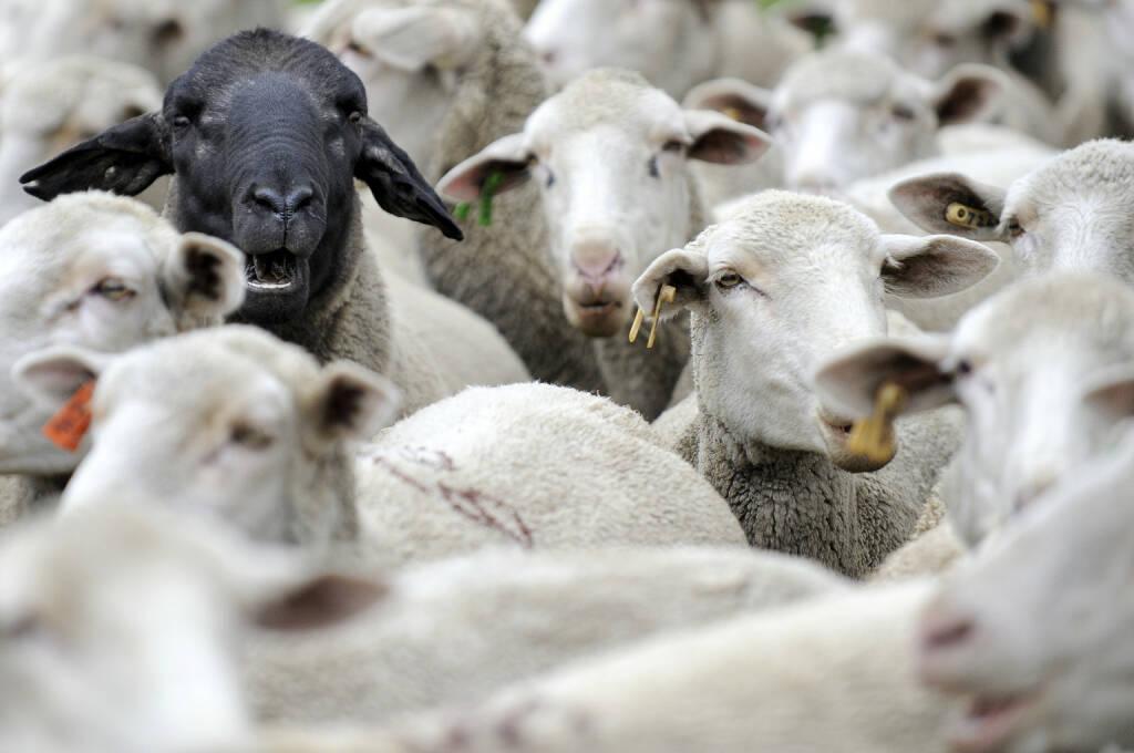 Schafe, schwarzes Schaf, Herde http://www.shutterstock.com/de/pic-69755869/stock-photo-the-black-sheep-in-the-group.html, © www.shutterstock.com (24.03.2015)