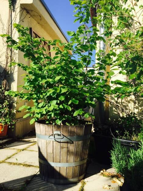 Lebensbaum (11.05.2015)