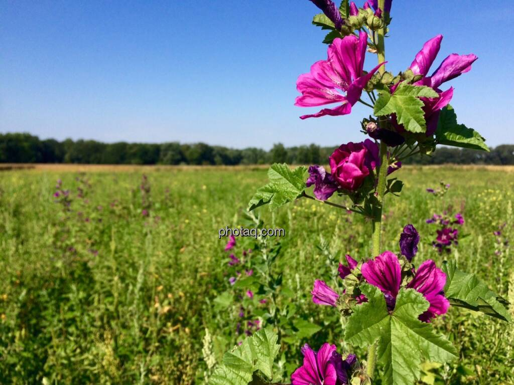 Blume, Feld, © Martina Draper (12.07.2015)