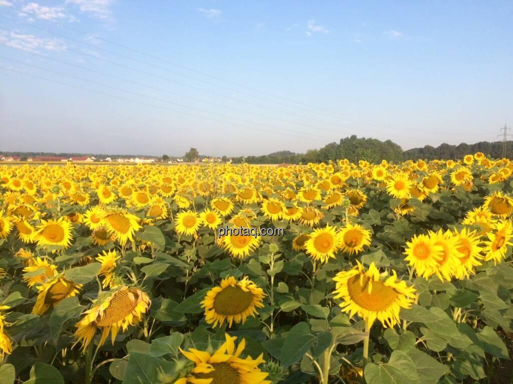 Sonnenblumen, © Martina Draper (17.07.2015)