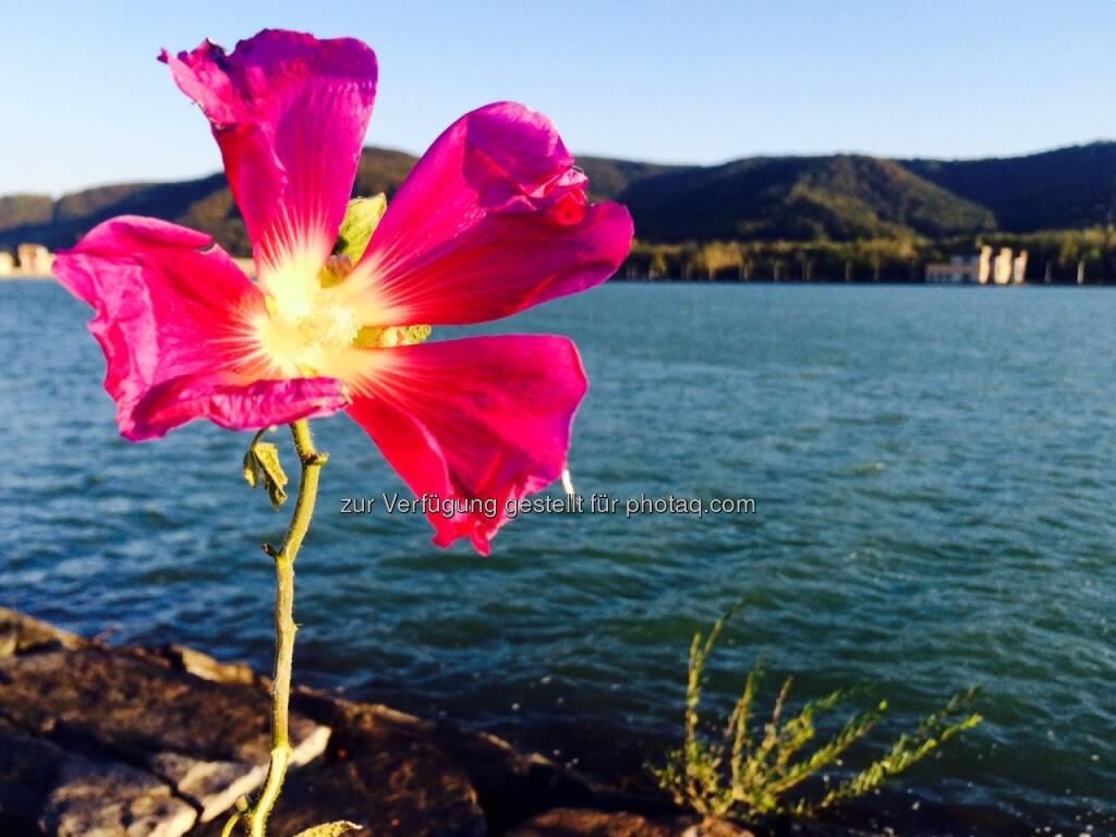 Blume, Donau, © Martina Draper (04.10.2015)