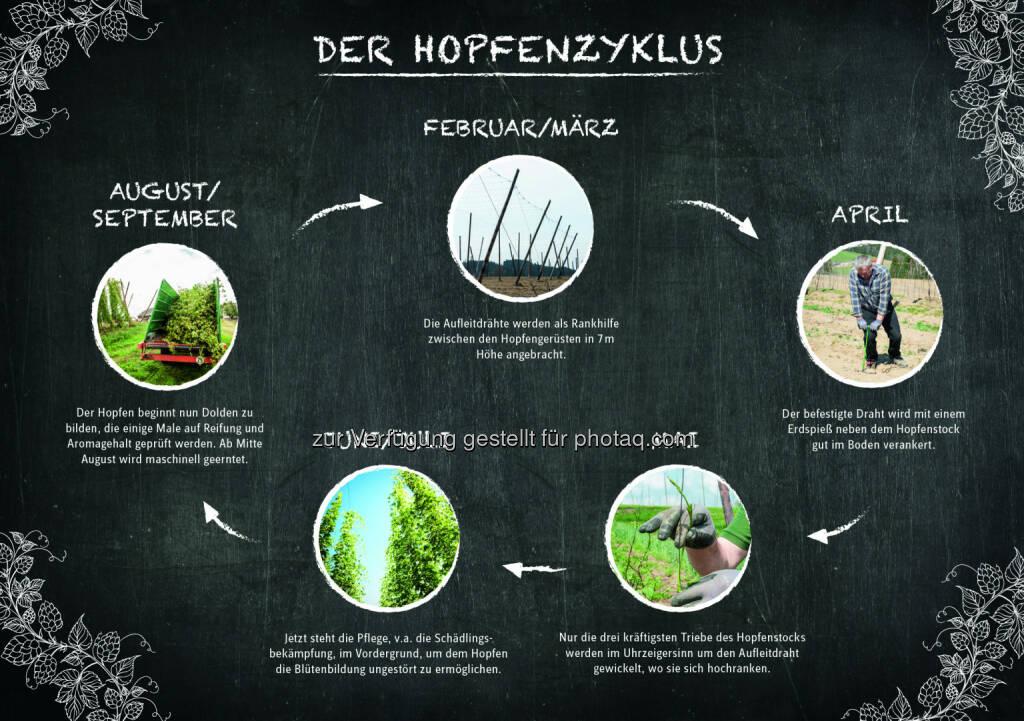 Grafik Der Hopfenzyklus : Die Hopfenpflanze im Jahresverlauf : Österreich ist ein Hopfenland : Fotocredit: Brau Union Österreich, © Aussender (17.08.2016)