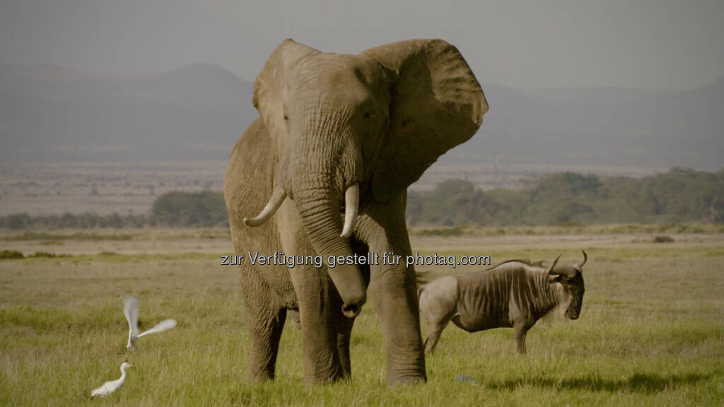 Kenya/Amboseli elephant with wilderbeast - Terra Mater Factual Studios GmbH: Cinema for Peace Award an Terra Mater Factual Studios (Fotocredit: © Terra Mater Factual Studios_Tobias Cords), © Aussender (14.02.2017)