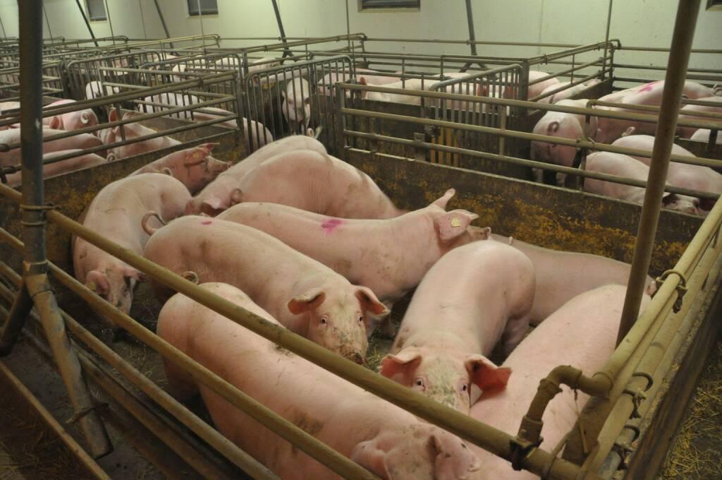 VIER PFOTEN: Schluss mit den schmerzhaften Eingriffen an Schweinen, Schweine, Foto: CIWF, © Aussendung (19.07.2017)