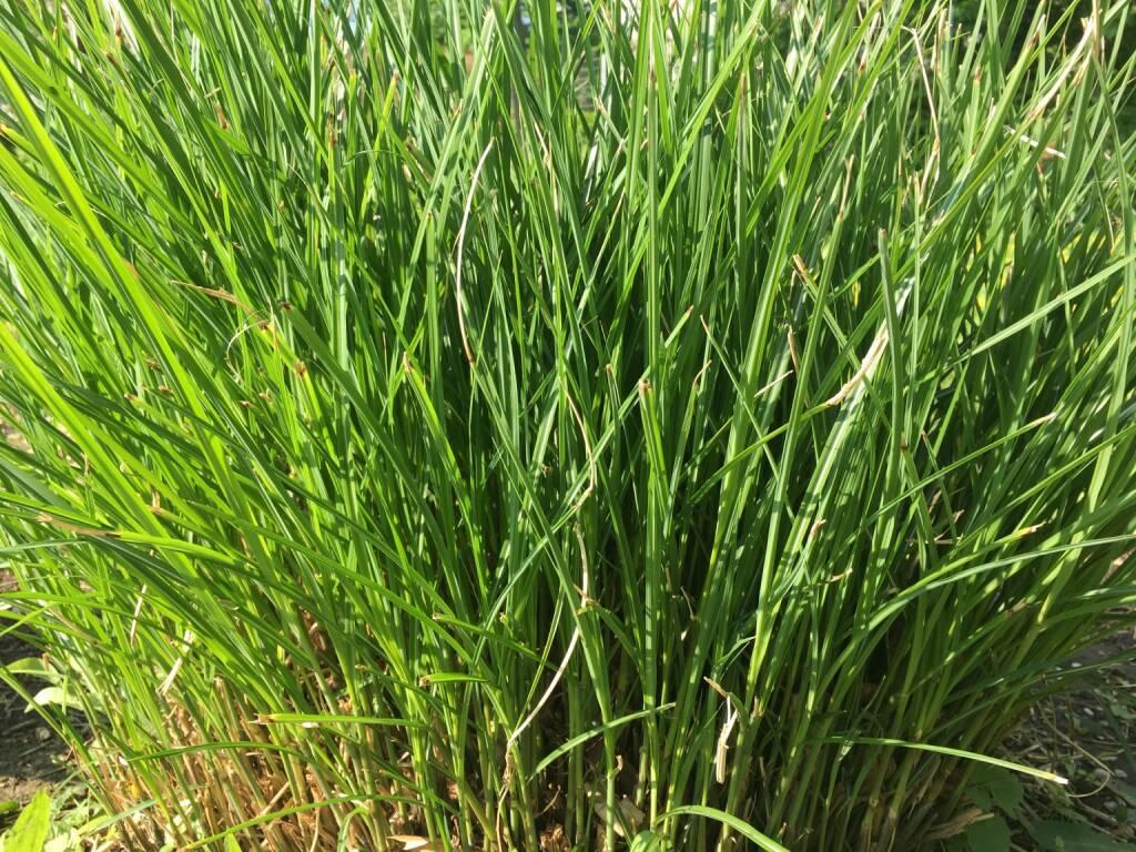 Gras, Büschel, Grasbüschel, grün, © diverse photaq (25.08.2017)