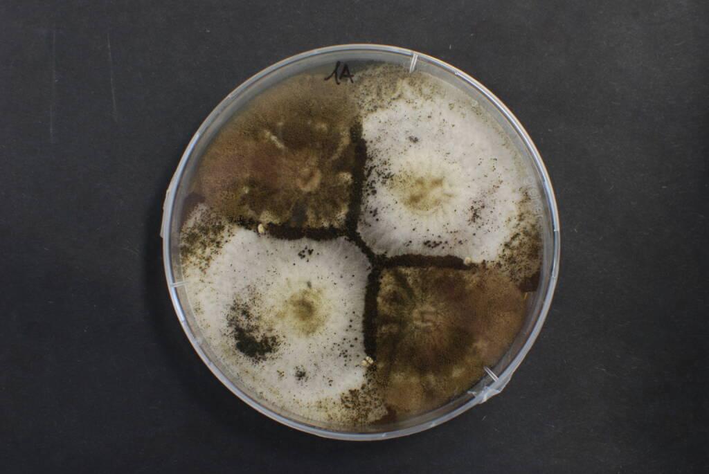 Forschern des acib ist es gelungen, Aconitsäure als neuen Rohstoff herzustellen – ein wichtiger Baustein für die Produktion ungiftiger Biokunststoffe. Fotocredit: acib GmbH/Fotograf: Mattanovich, © Aussendung (29.08.2017)