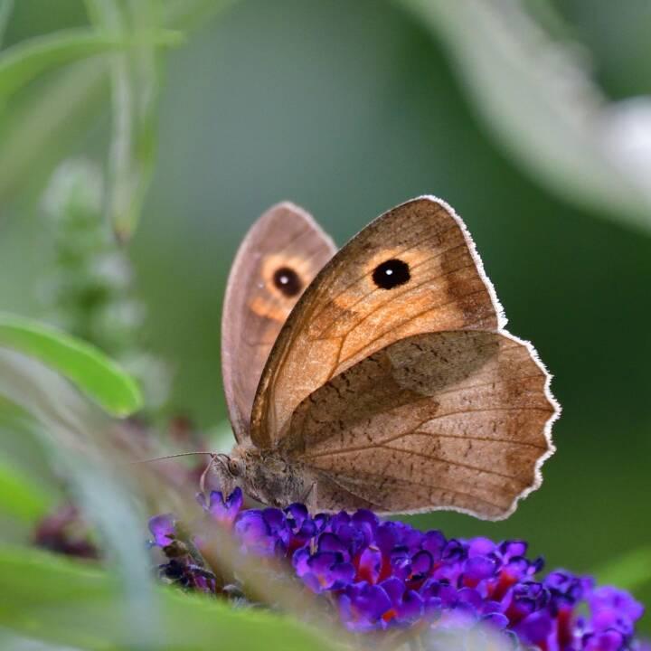 Blühendes Österreich – REWE International gemeinnützige Privatstiftung: Über 12.000 Schmetterlinge gezählt; Fotocredit: Blühendes Österreich – REWE International gem. Privatstiftung