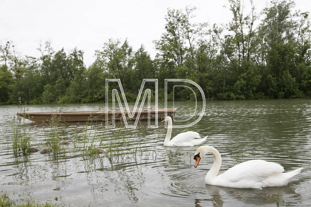 Hochwasser, Greifenstein, Schwäne, © Martina Draper (03.06.2013)