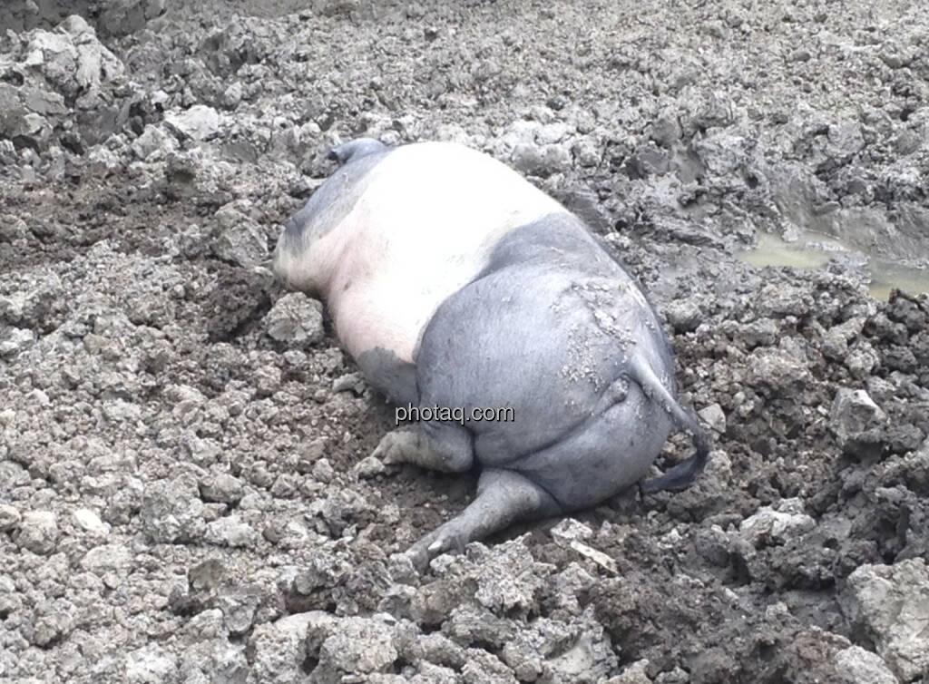 Schwein, Matsch (08.07.2013)