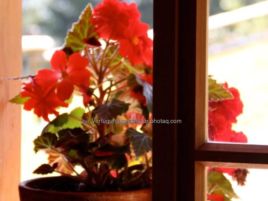 Blumen; Alpbach, © Susanne Lederer-Pabst (10.07.2013)