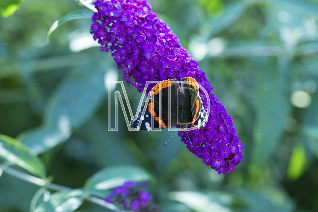 Schmetterling auf Sommerflieder, © www.martina-draper.at (15.07.2013)