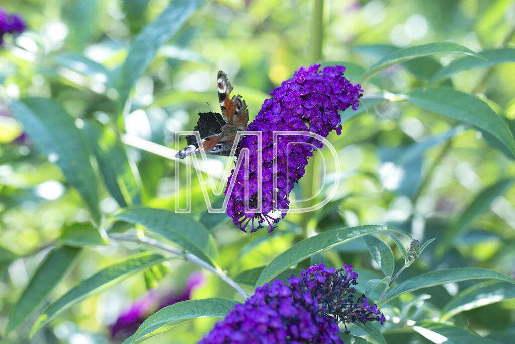 Schmetterlinge auf Sommerflieder, © www.martina-draper.at (15.07.2013)