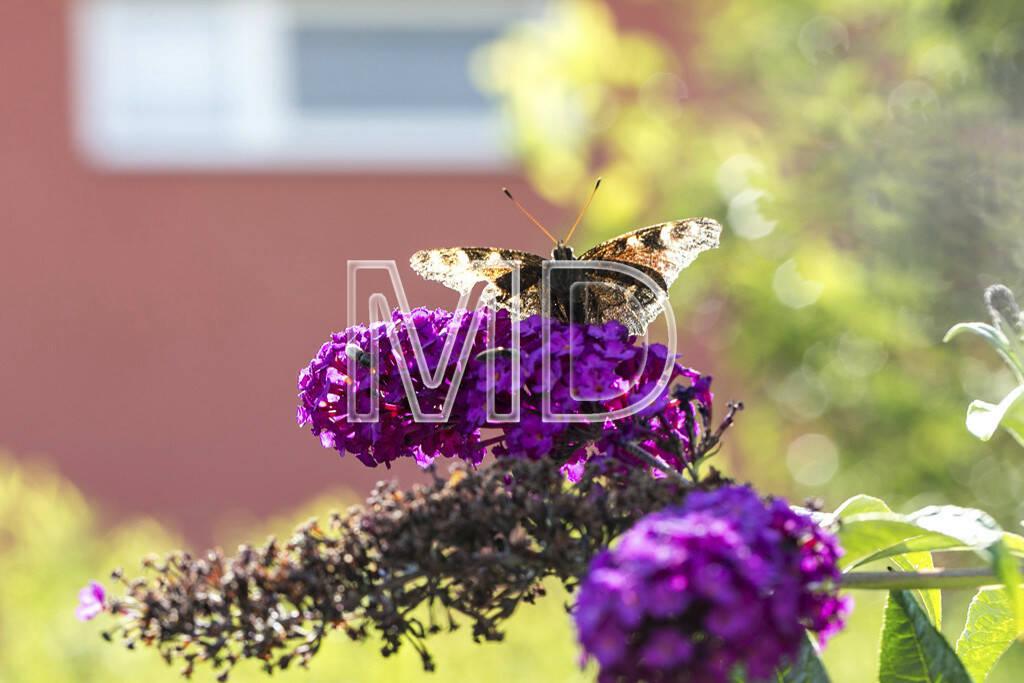 Schmetterling im Gegenlicht auf Sommerflieder, © www.martina-draper.at (15.07.2013)